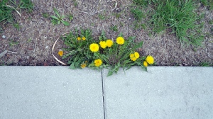 Dandelions growing at the edge of a sidewalk