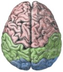 Brain with lobes color-coded: frontal lobe (pink), parietal lobe (green) and occipital lobe (blue)